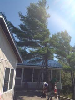 Pine tree coming down
